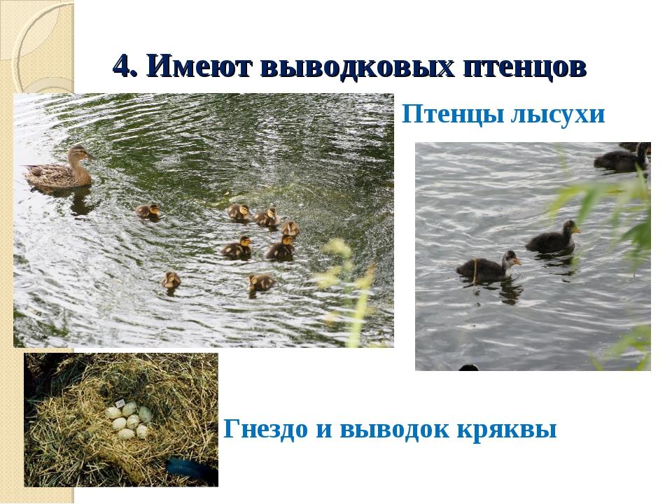 4. Имеют выводковых птенцов Гнездо и выводок кряквы Птенцы лысухи
