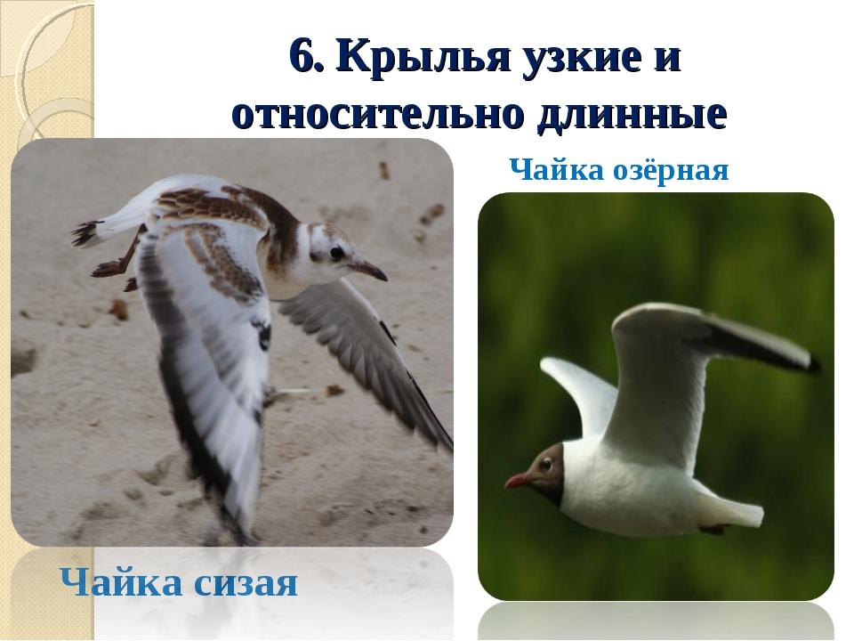 6. Крылья узкие и относительно длинные Чайка сизая Чайка озёрная