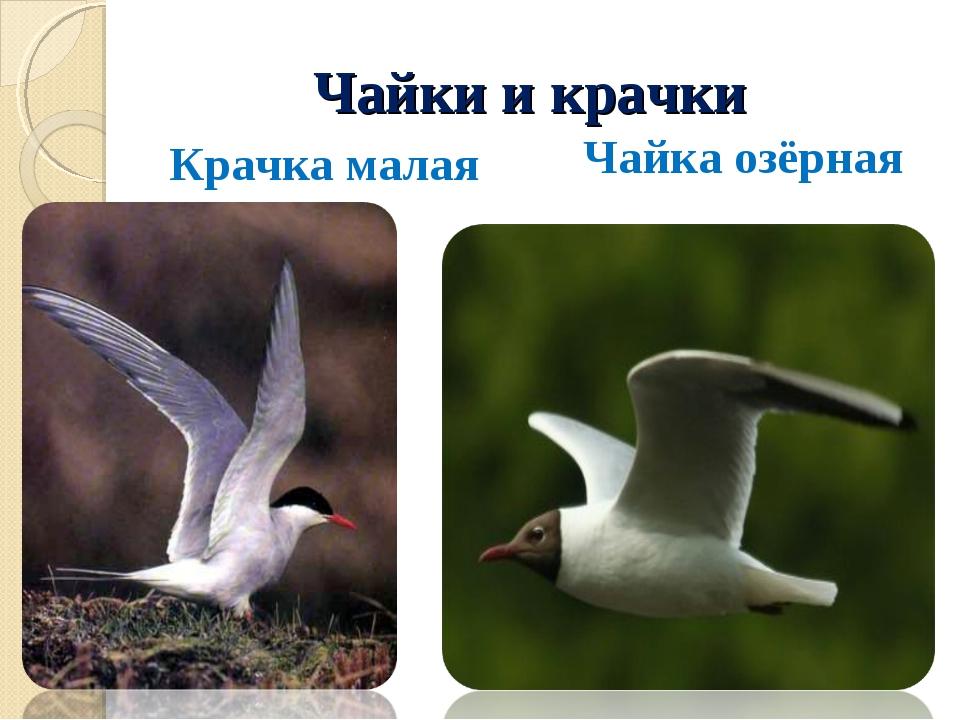 Чайки и крачки Крачка малая Чайка озёрная