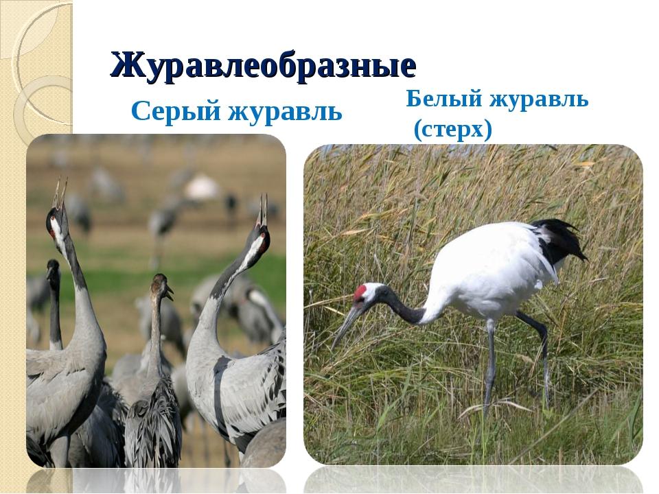 Журавлеобразные Серый журавль Белый журавль (стерх)
