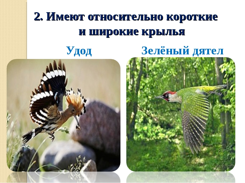 2. Имеют относительно короткие и широкие крылья Удод Зелёный дятел