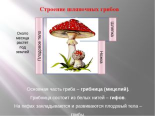 Строение шляпочных грибов Основная часть гриба – грибница (мицелий). Грибниц