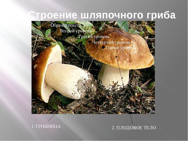 Строение шляпочного гриба 1. ГРИБНИЦА 2. ПЛОДОВОЕ ТЕЛО