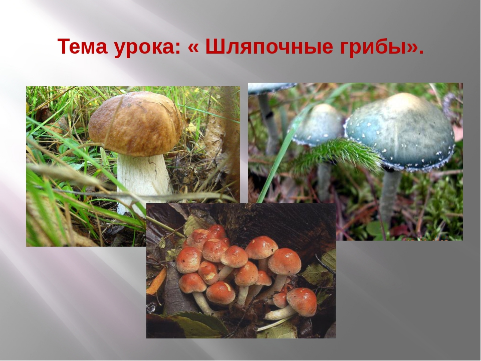 Тема урока: « Шляпочные грибы».