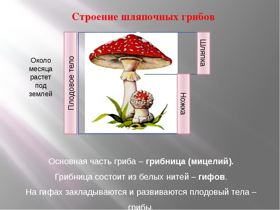 Строение шляпочных грибов Основная часть гриба – грибница (мицелий). Грибниц...