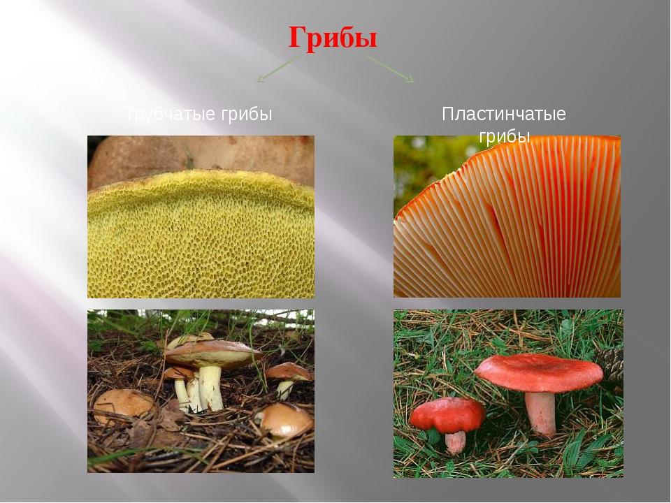 Грибы Трубчатые грибы Пластинчатые грибы