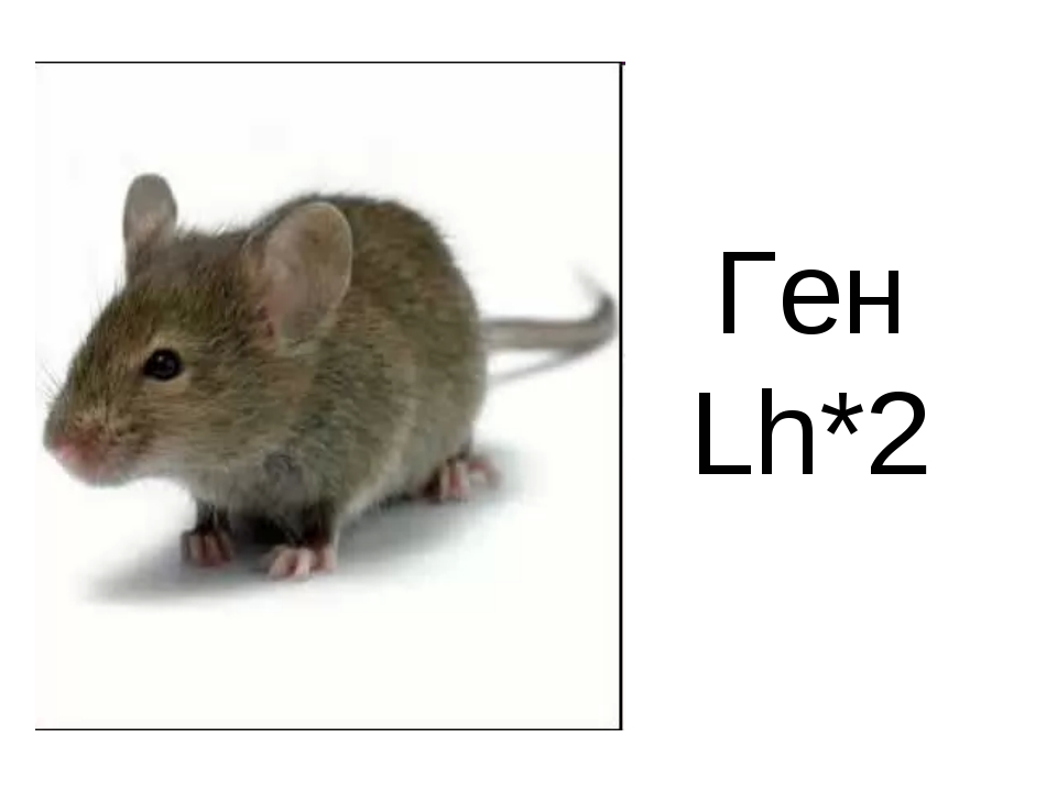 Ген Lh*2
