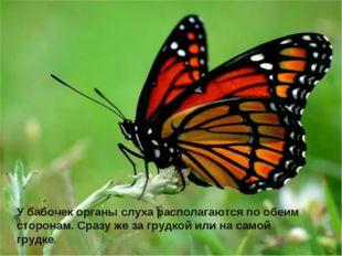 У бабочек органы слуха располагаются по обеим сторонам. Сразу же за грудкой и