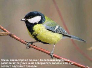 Птицы очень хорошо слышат. Барабанная перепонка располагается у них не на пов