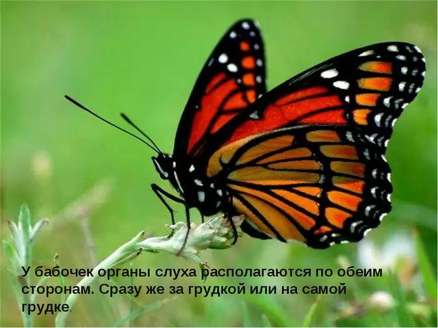 У бабочек органы слуха располагаются по обеим сторонам. Сразу же за грудкой и...
