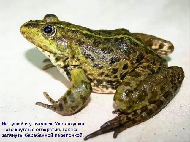 Нет ушей и у лягушек. Ухо лягушки – это круглые отверстия, так же затянуты ба...