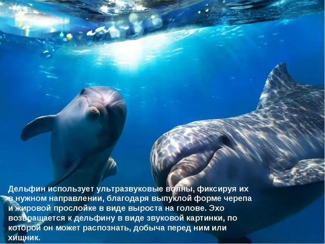 Дельфин использует ультразвуковые волны, фиксируя их в нужном направлении, бл...