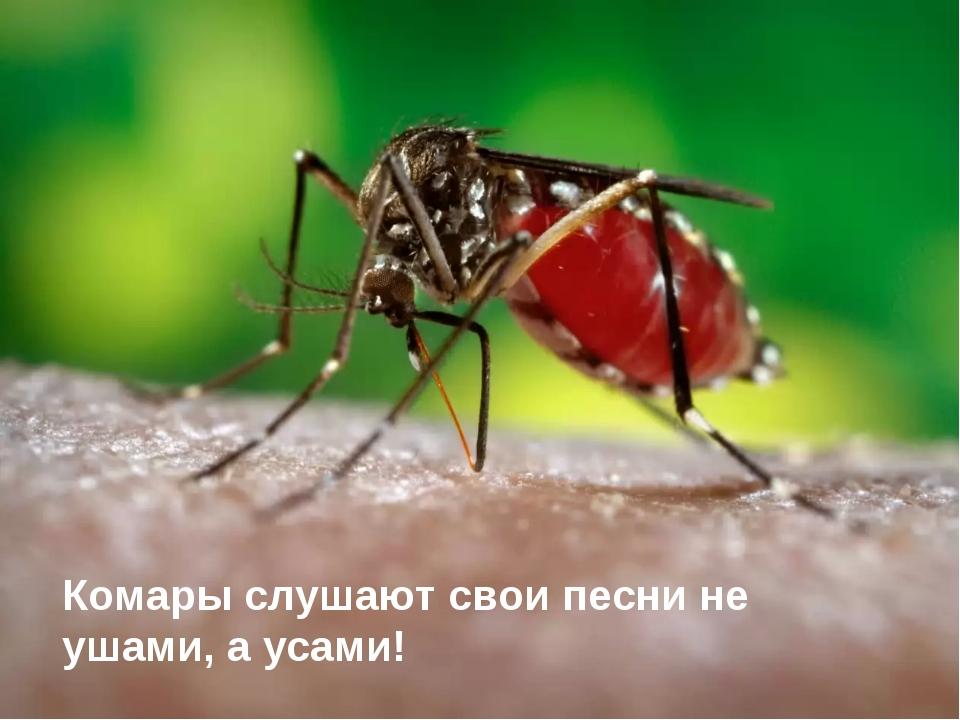 Комары слушают свои песни не ушами, а усами!