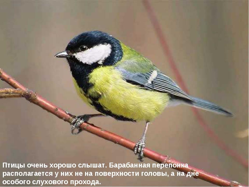 Птицы очень хорошо слышат. Барабанная перепонка располагается у них не на пов...
