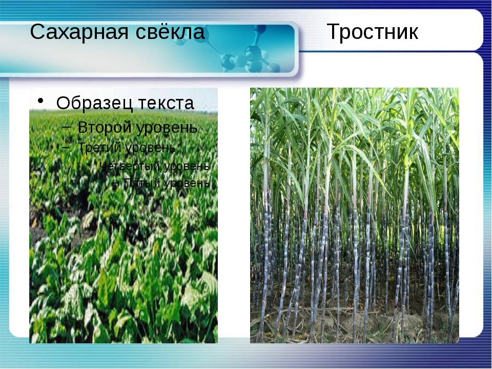 Сахарная свёкла Тростник