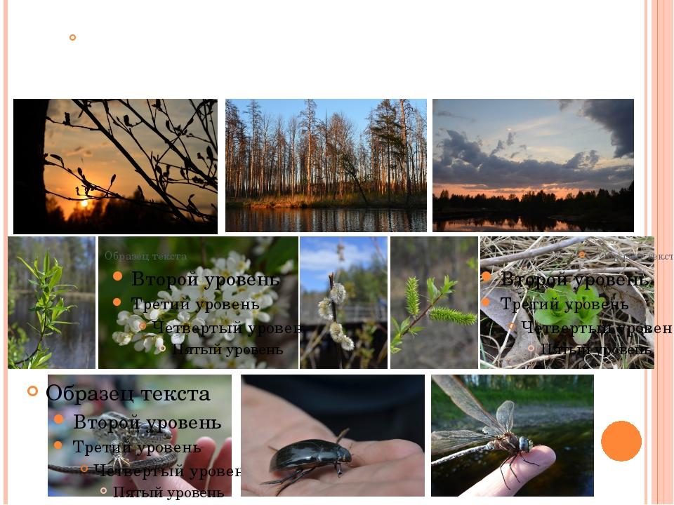 Весной в лесу очень красиво – природа оживает после зимней спячки, расцветают...