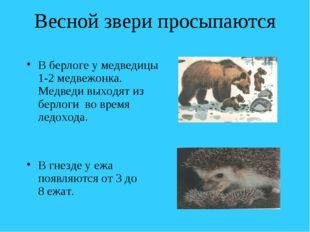 Весной звери просыпаются В берлоге у медведицы 1-2 медвежонка. Медведи выходя
