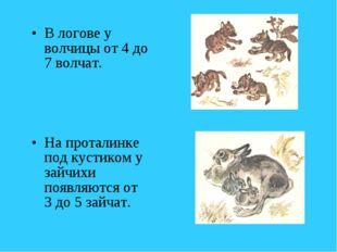 В логове у волчицы от 4 до 7 волчат. На проталинке под кустиком у зайчихи поя