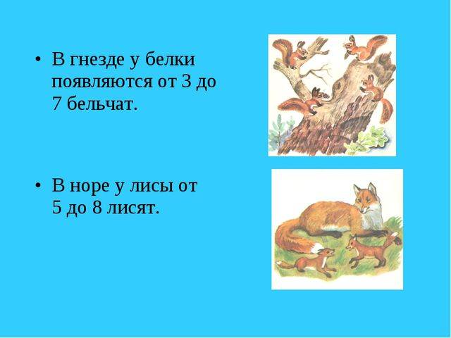 В гнезде у белки появляются от 3 до 7 бельчат. В норе у лисы от 5 до 8 лисят.