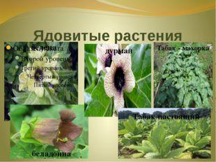 Ядовитые растения белена дурман беладонна Табак - махорка Табак настоящий