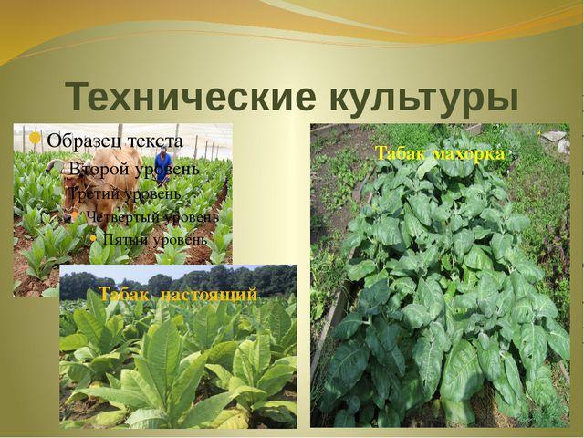 Технические культуры Табак настоящий Табак махорка