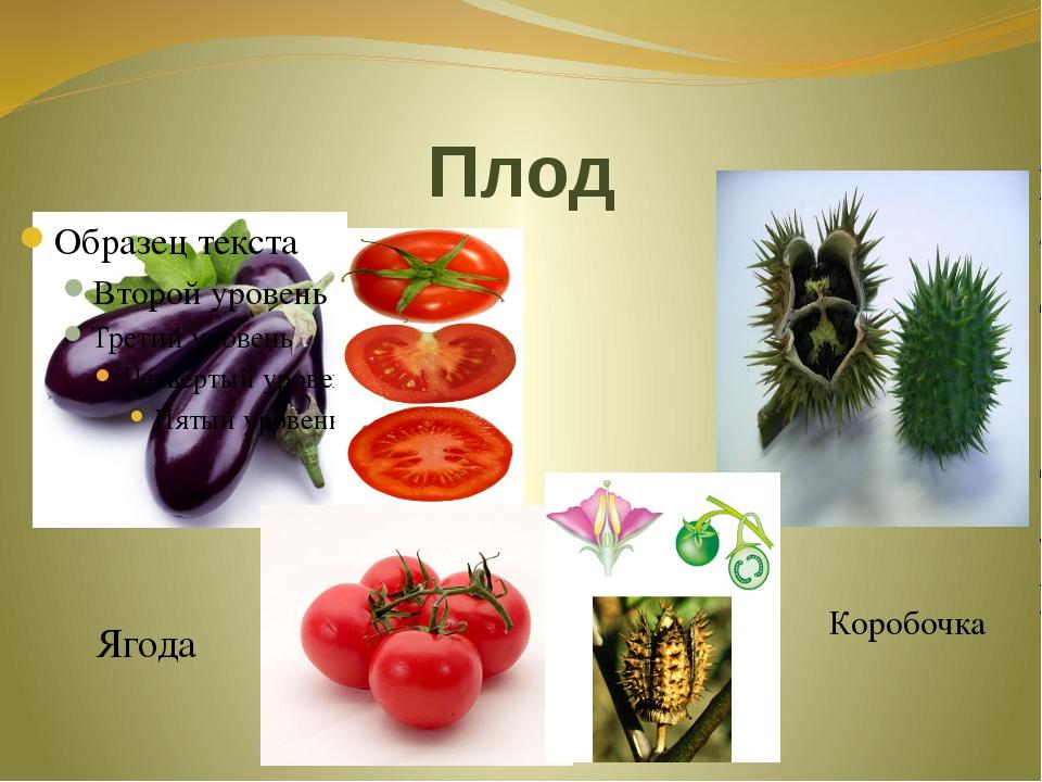 Плод Ягода Коробочка