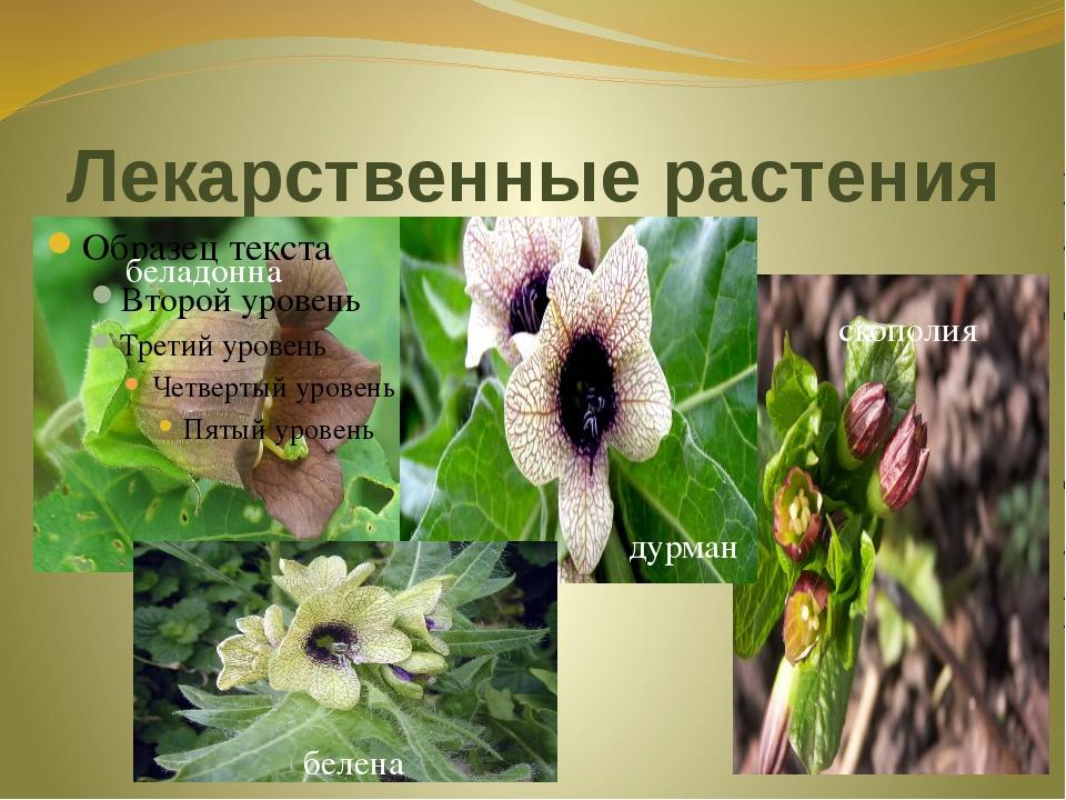 Лекарственные растения беладонна дурман скополия белена