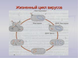 Жизненный цикл вирусов