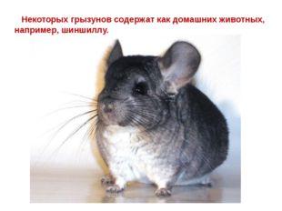 Некоторых грызунов содержат как домашних животных, например, шиншиллу.