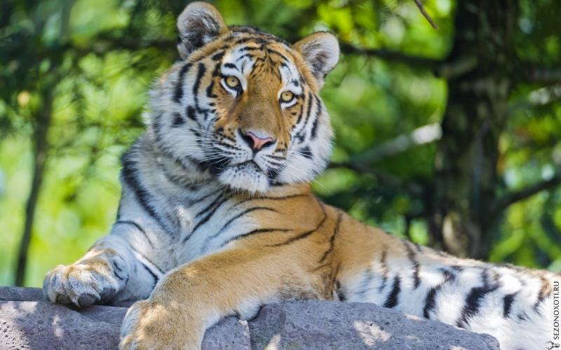Обои Большие кошки Тигры Животные Фото 325251