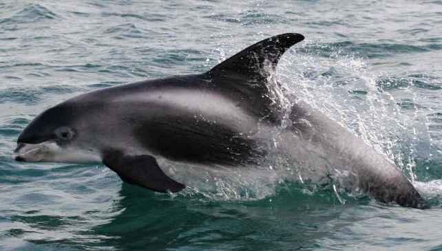 belomordyi-delphin.jpg