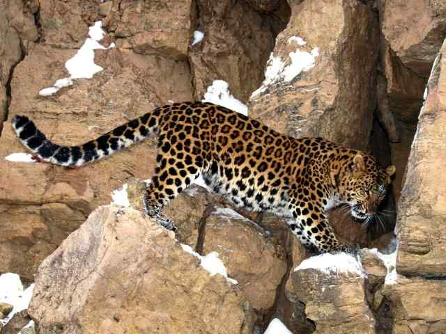 Amurskiy-leopard.jpg