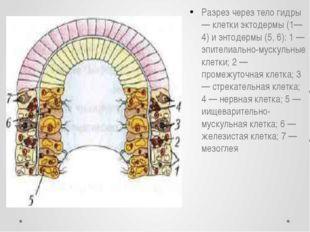 Разрез через тело гидры — клетки эктодермы (1—4) и энтодермы (5, 6): 1 — эпит
