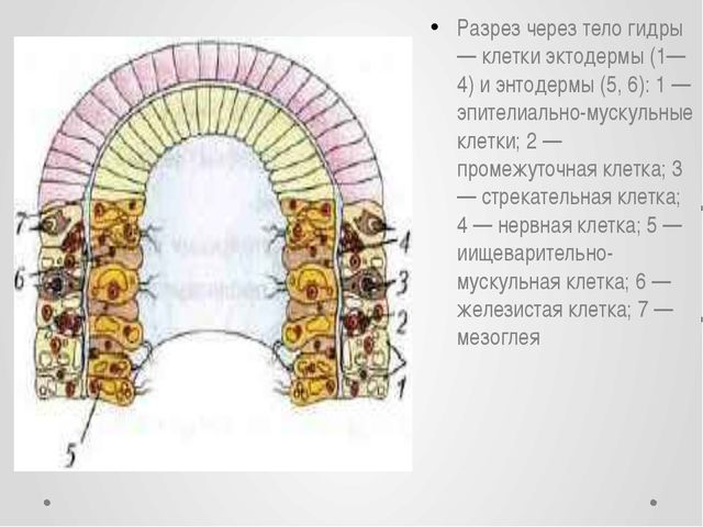Разрез через тело гидры — клетки эктодермы (1—4) и энтодермы (5, 6): 1 — эпит...