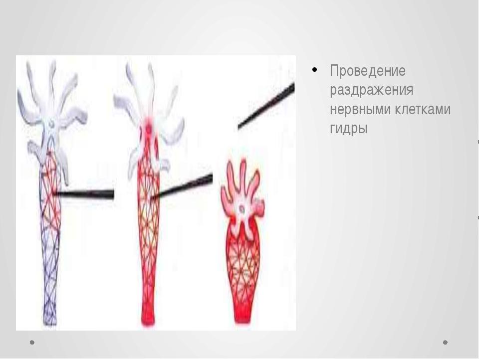 Проведение раздражения нервными клетками гидры