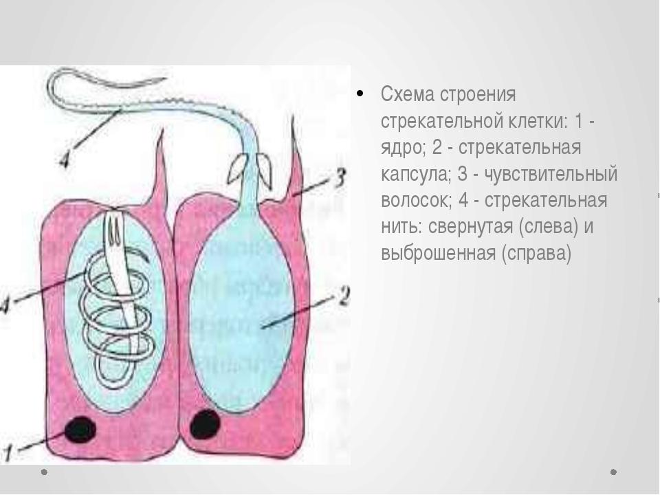 Схема строения стрекательной клетки: 1 - ядро; 2 - стрекательная капсула; 3 -...