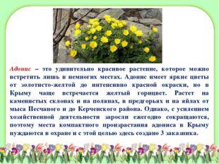 Адонис – это удивительно красивое растение, которое можно встретить лишь в не
