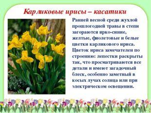 Карликовые ирисы – касатики Ранней весной среди жухлой прошлогодней травы в с
