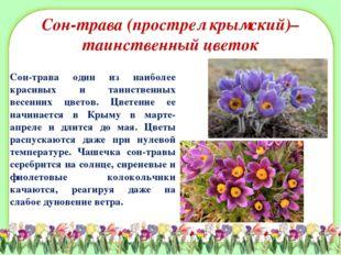 Сон-трава (прострел крымский)– таинственный цветок Сон-трава один из наиболее
