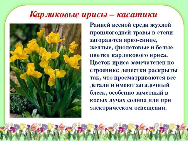 Карликовые ирисы – касатики Ранней весной среди жухлой прошлогодней травы в с...