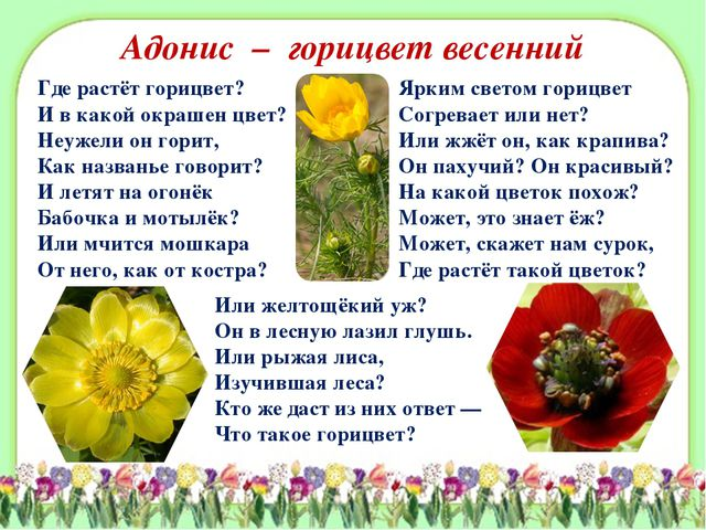 Адонис – горицвет весенний Где растёт горицвет? И в какой окрашен цвет? Неуже...