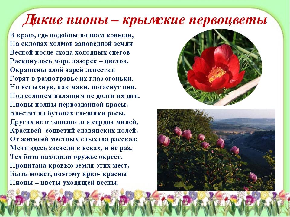 Дикие пионы – крымские первоцветы В краю, где подобны волнам ковыли, На склон...