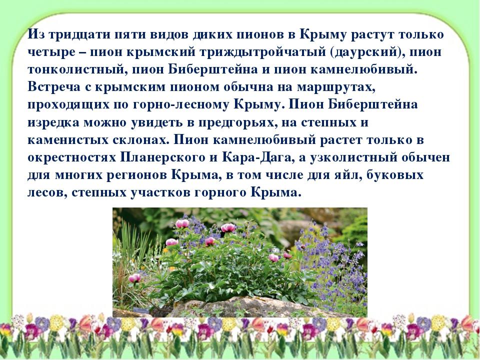 Из тридцати пяти видов диких пионов в Крыму растут только четыре – пион крымс...