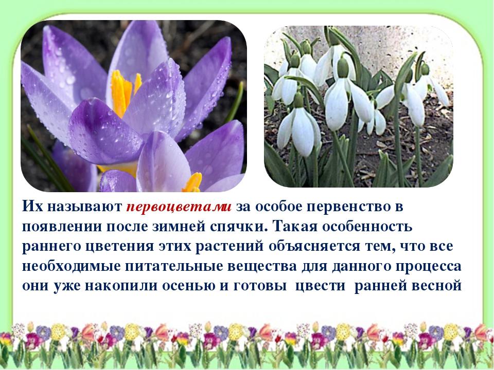 Их называют первоцветами за особое первенство в появлении после зимней спячки...
