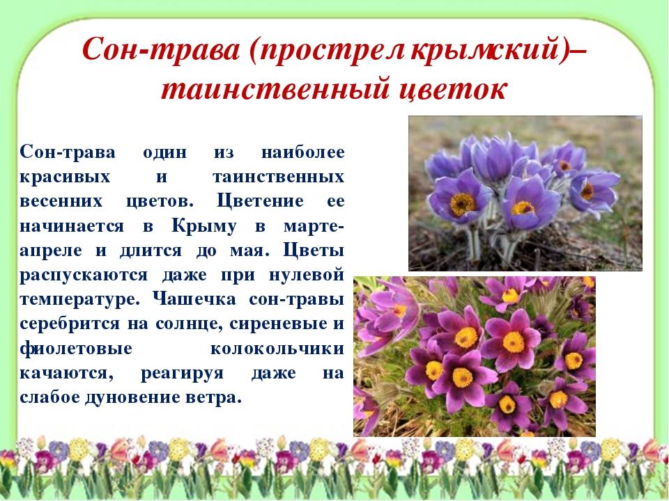 Сон-трава (прострел крымский)– таинственный цветок Сон-трава один из наиболее...