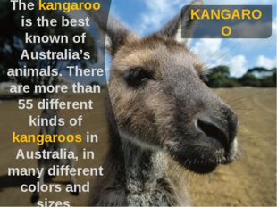 KANGAROO The kangaroo is the best known of Australia's animals. There are mo