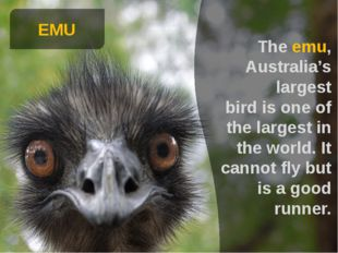EMU The emu, Australia's largest bird is one of the largest in the world. It