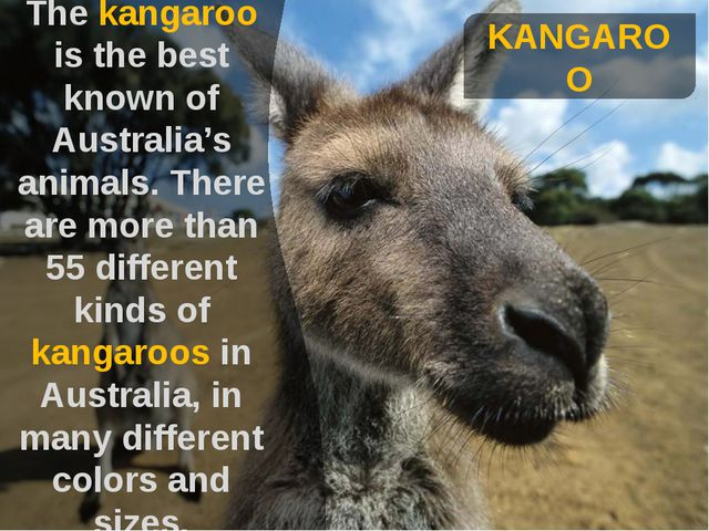 KANGAROO The kangaroo is the best known of Australia's animals. There are mo...