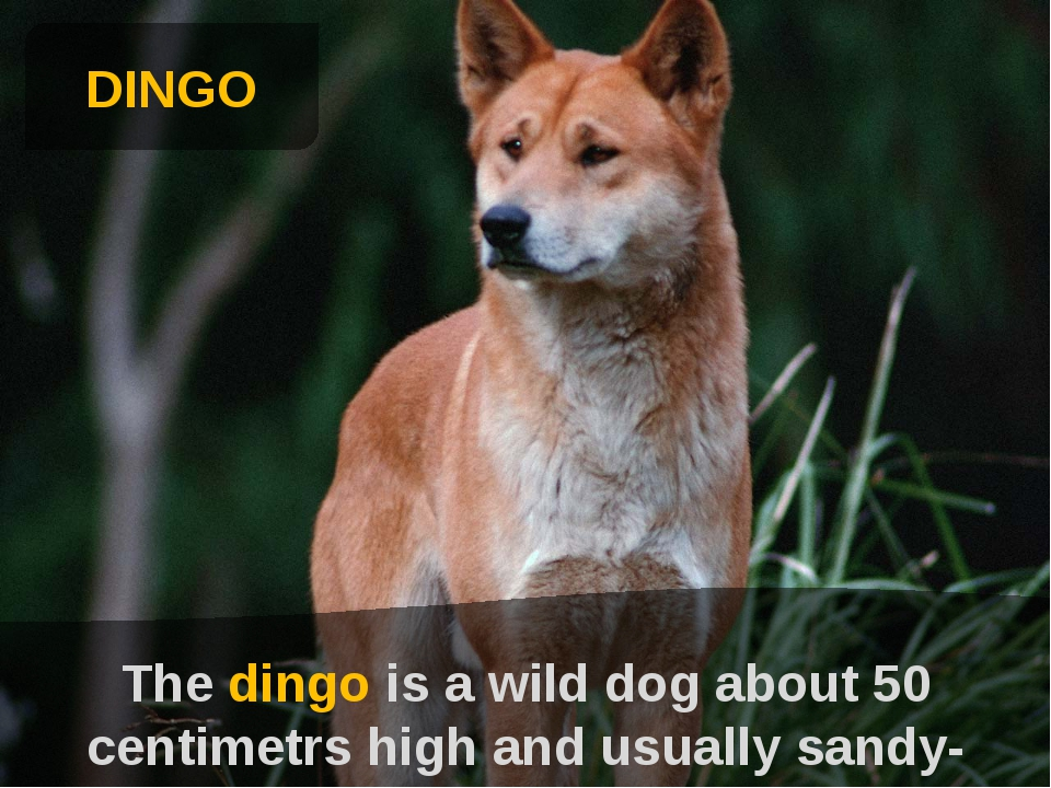 DINGO The dingo is a wild dog about 50 centimetrs high and usually sandy-col...