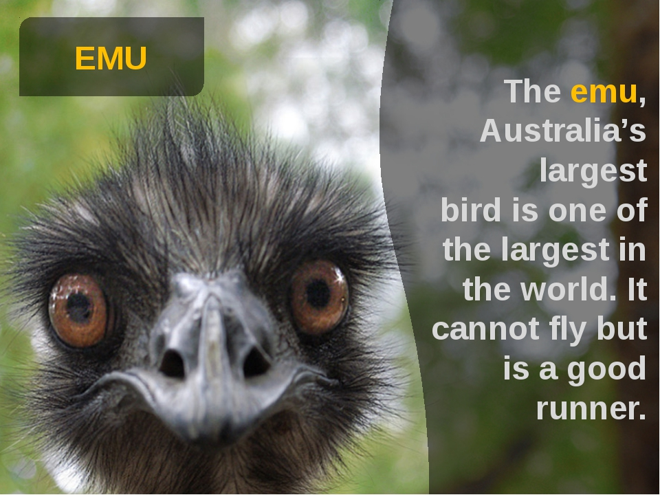EMU The emu, Australia's largest bird is one of the largest in the world. It...